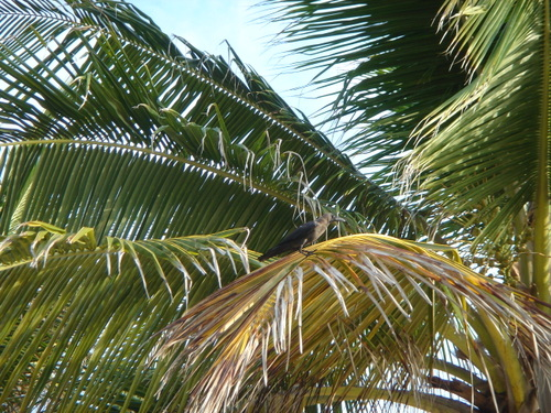 Zanzibar_bird_in_palm_tree